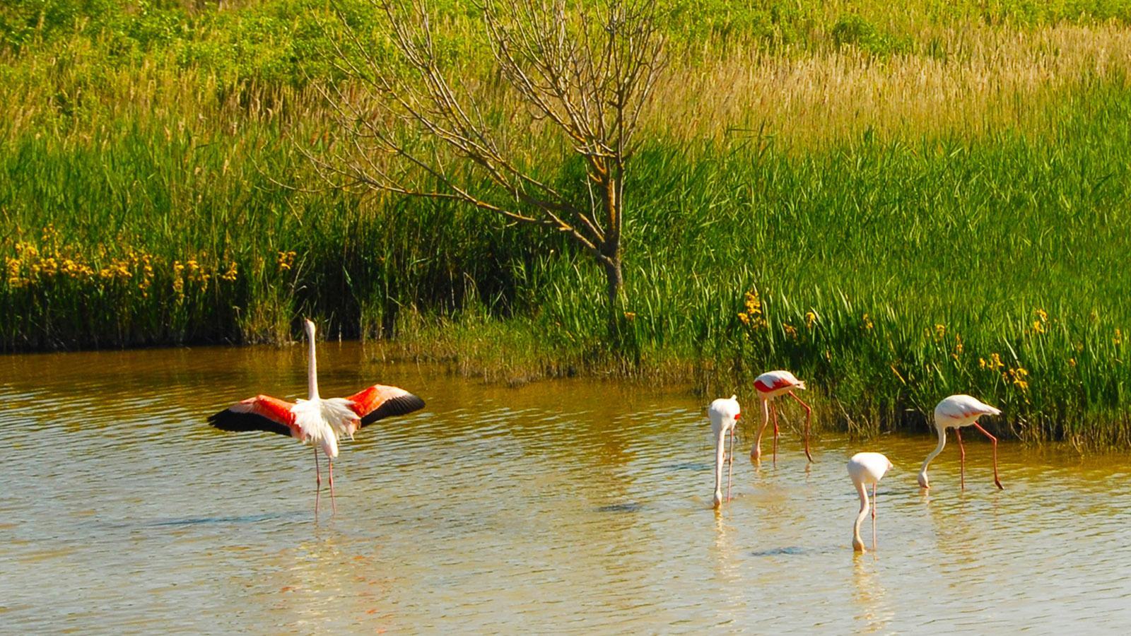 Flamingos am Étang de Vaccarès. Foto: Hilke Maunder
