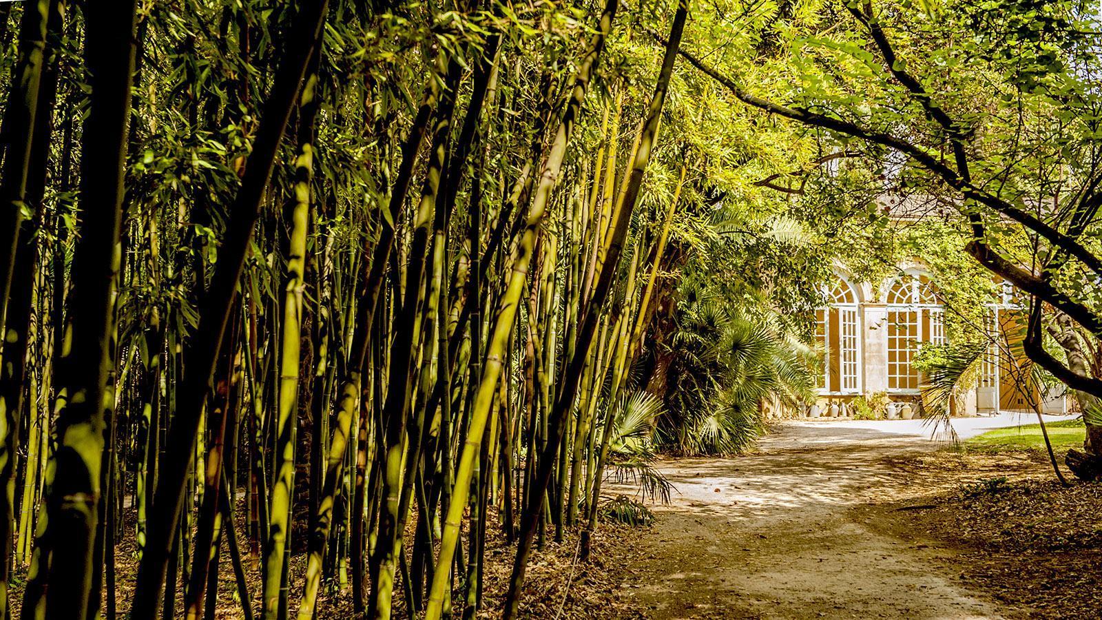 Château de Flaugergues: das Bambuswäldchen neben der Orangerie. Foto: Hilke Maunder