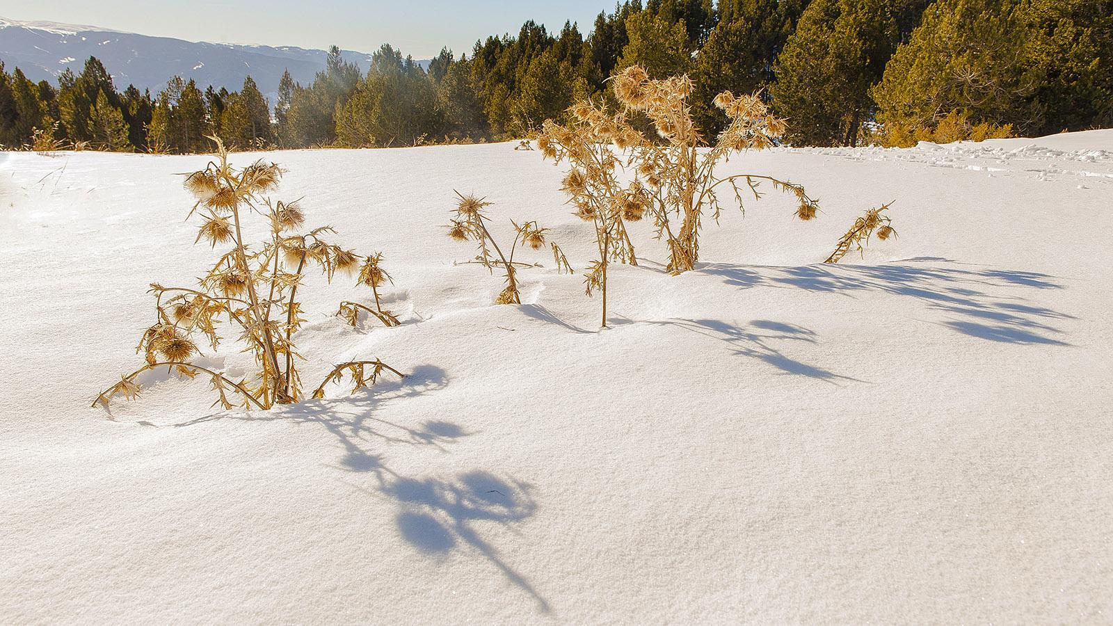 Pyrénées-Orientales: Disteln im Schnee. Foto: Hilke Maunder
