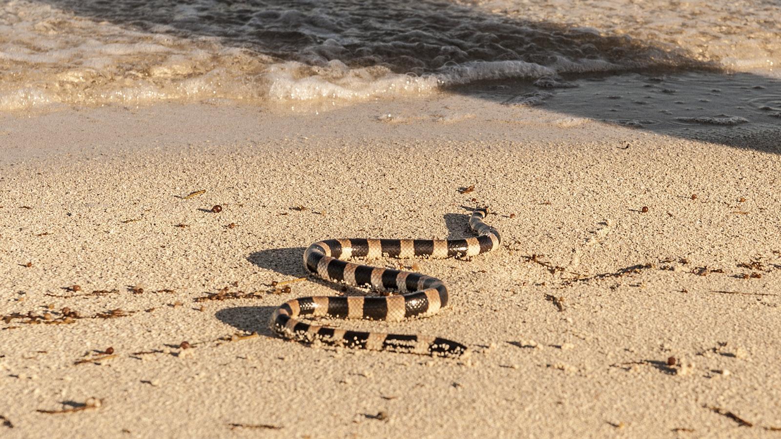 Îlot Maître: Die Giftschlange Tricot Rayé ist überall im Süden von Neukaledonien am Meer zu finden. Foto: Hilke Maunder