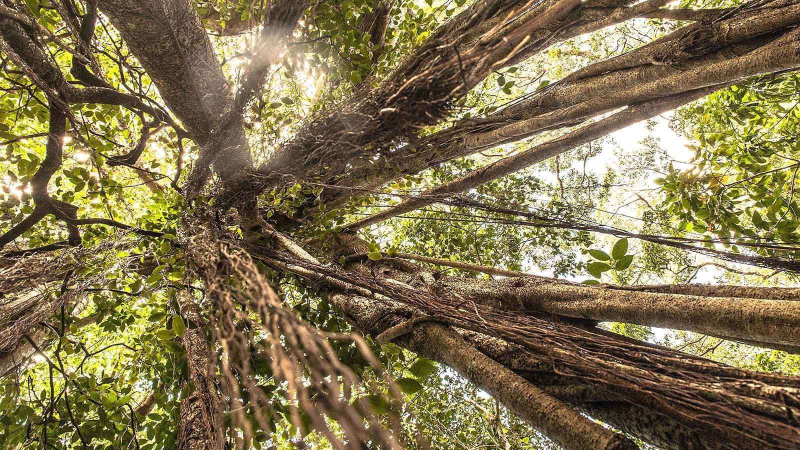 Lianen, Mangroven, Würgefeigen und Kuni-Bäume: der Wald der ÎLe des Piins bei der Baie d'Upi. Foto: Hilke Maunde