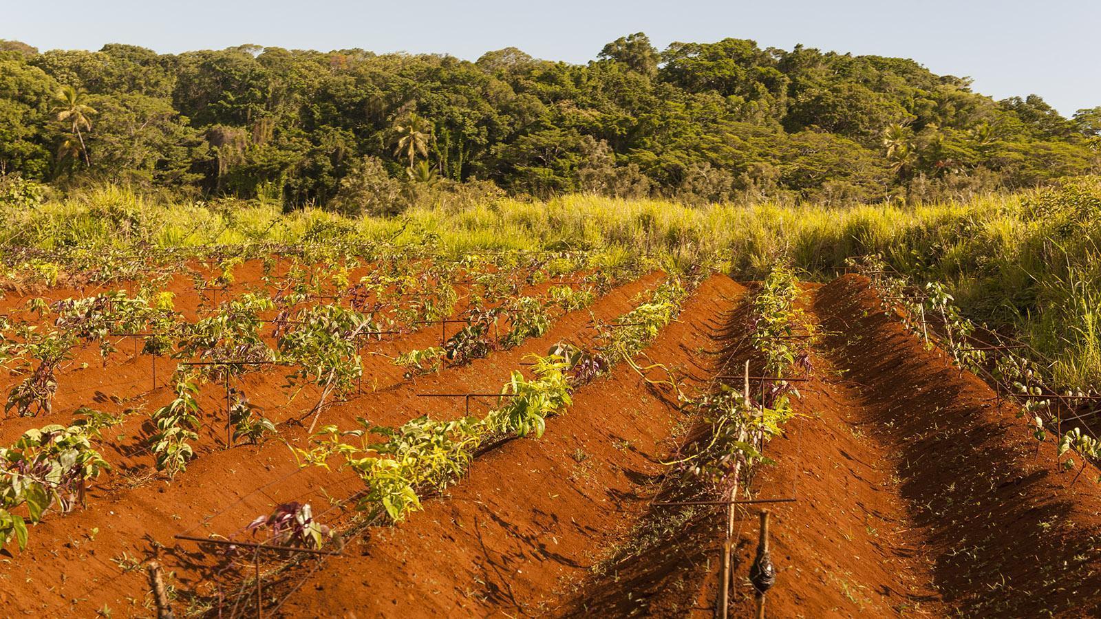 Yams-Anbau auf der Île des Pins. Foto: Hilke Maunder