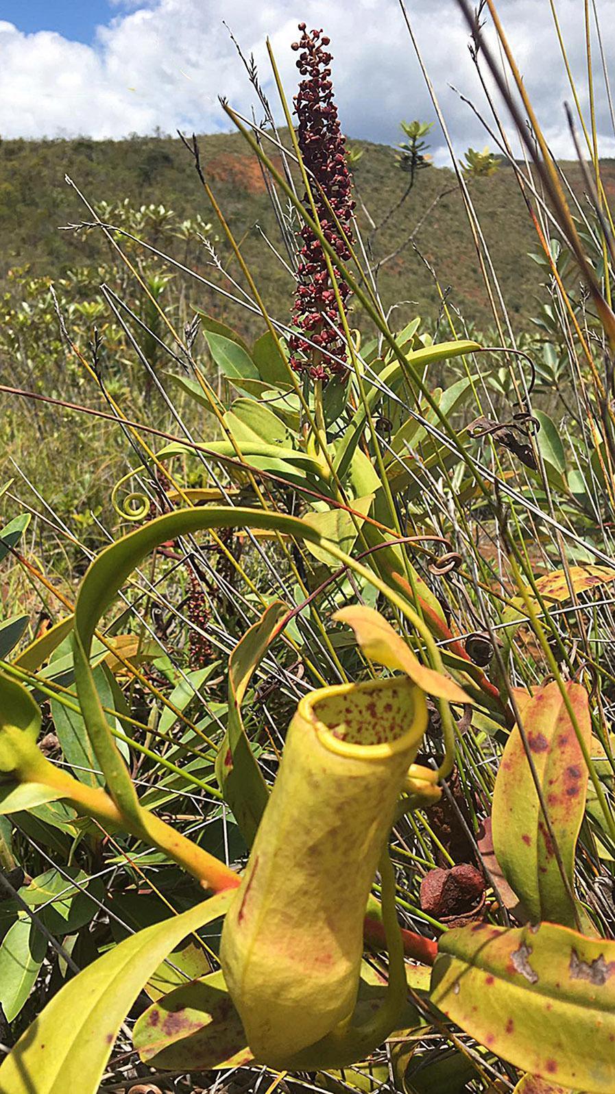 Eine der fleischfressenden Pflanzen von Rivière Bleue; Sie lockt mit süß duftendem Duft die Insekten. Foto: Hilke Maunder