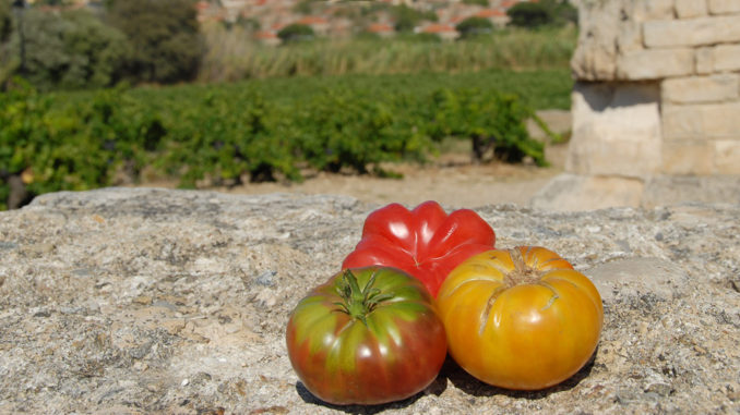 Alte Tomatensorten. Foto: Hilke Maunder