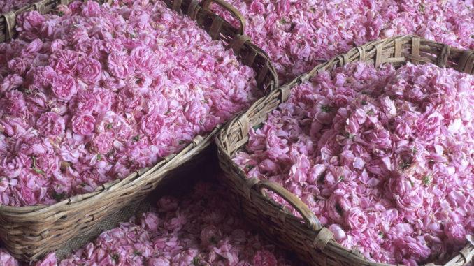 Grasse: Rosenblüten. Foto: ATOUT France/Emmanuel Valentin
