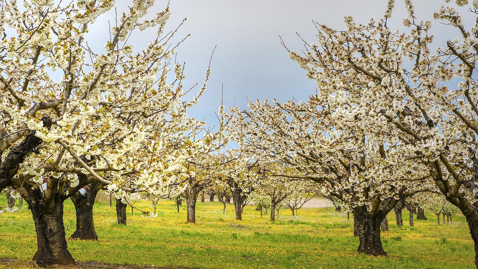 Kirschblüte im Luberon. Foto: Hilke Maunder