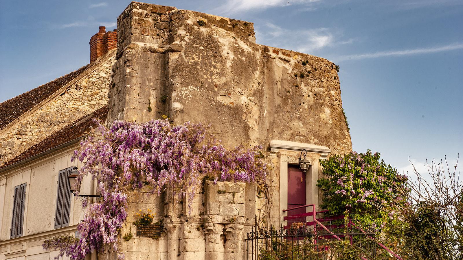Provins: Blauregenragt an der Rue Saint-Thibaut mit der Ruine der gleichnamigen Kirche. Foto: Hilke Maunder
