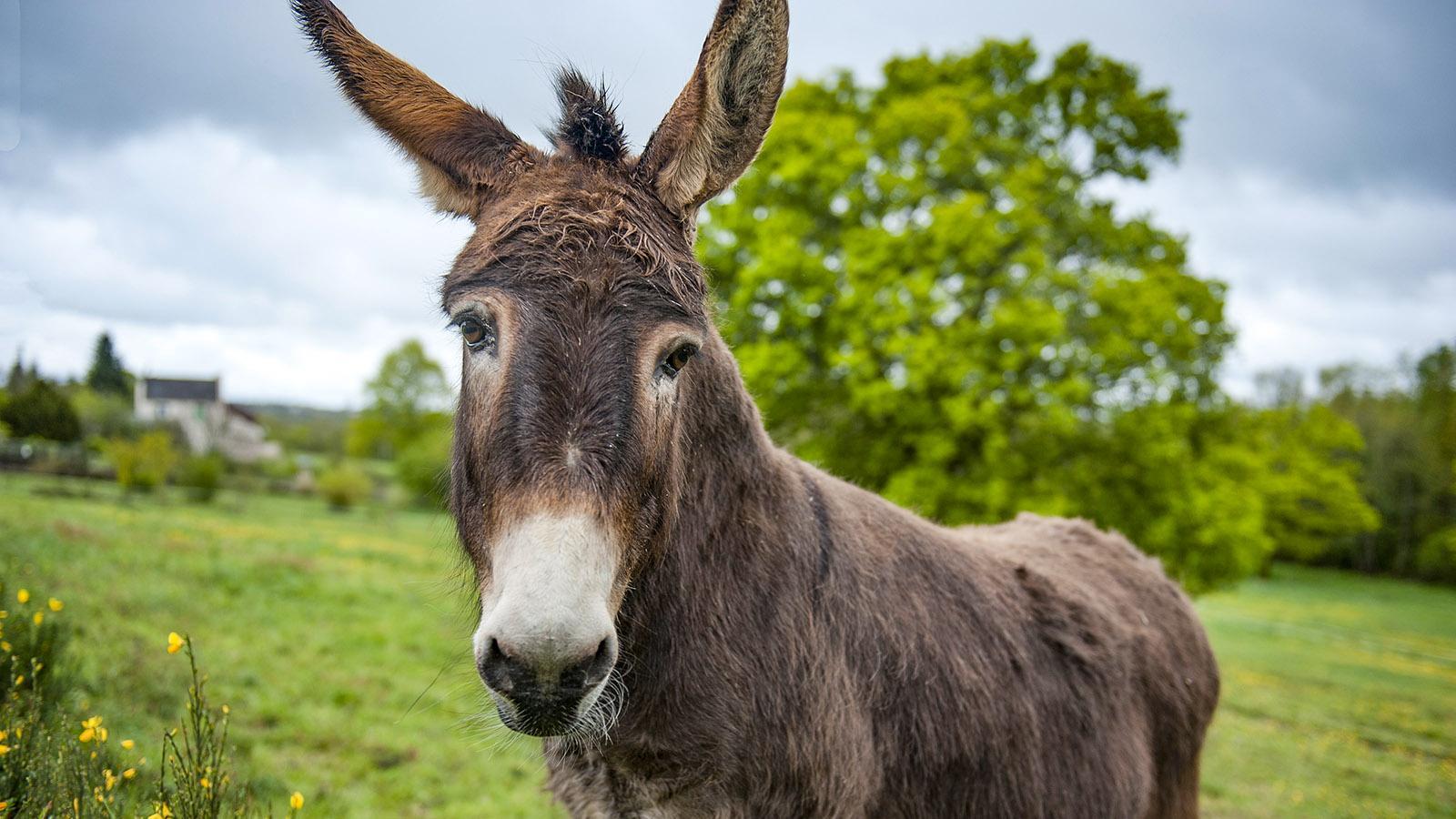 Brain-sur-Vilaine: Esel auf der Weide. Foto: Hilke Maunder