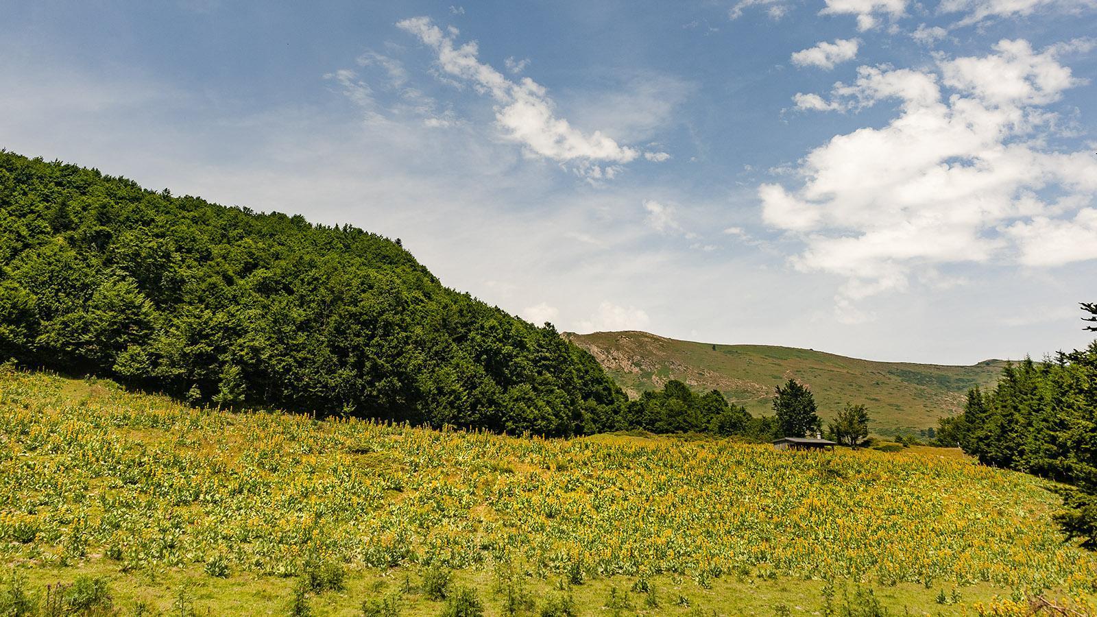 Der gelbe Enzian blüht am Col du Pradel. Foto: Hilke Maunder