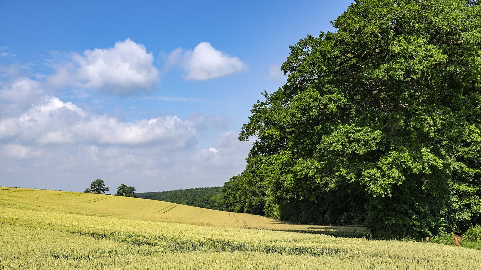 Weizenfelder unterbrechen die Forêt d'Eawy. Foto: Hilke Maunder