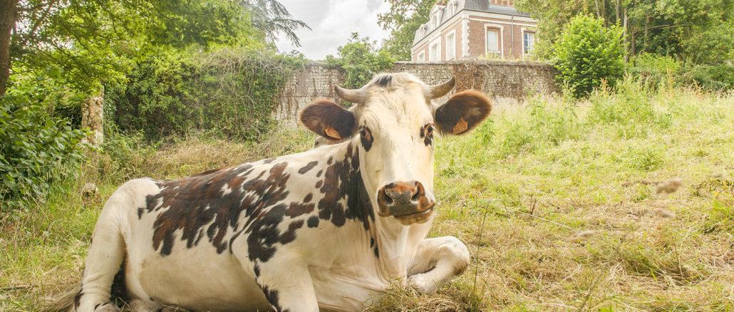 Boeuf Cidré: Das Cidre-Rind: bio gezüchtet im Tal der Seine. Foto: Hilke Maunder