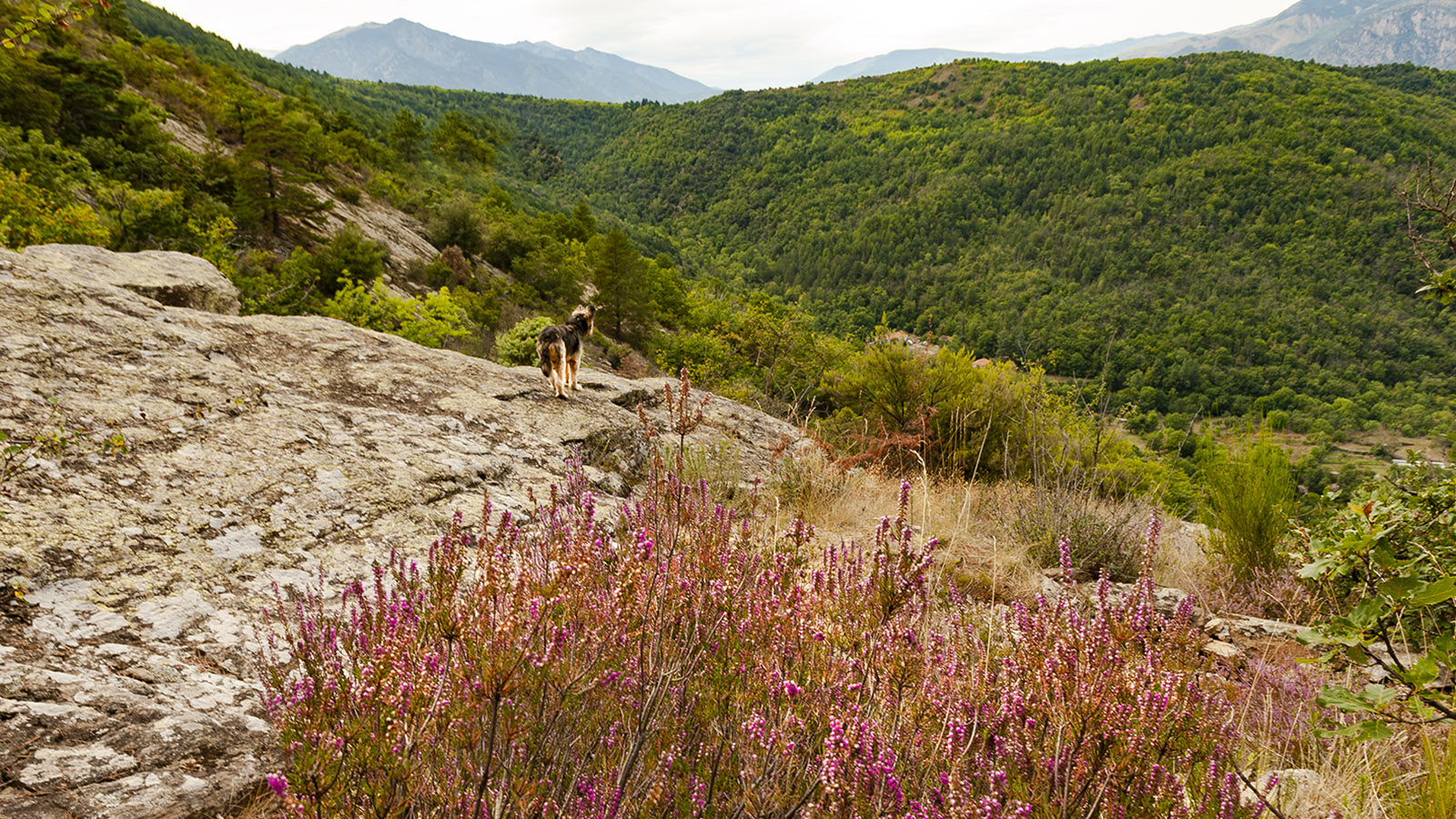 Canigó: Im Herbst blüht die Heide (bruyère). Foto: Hilke Maunder