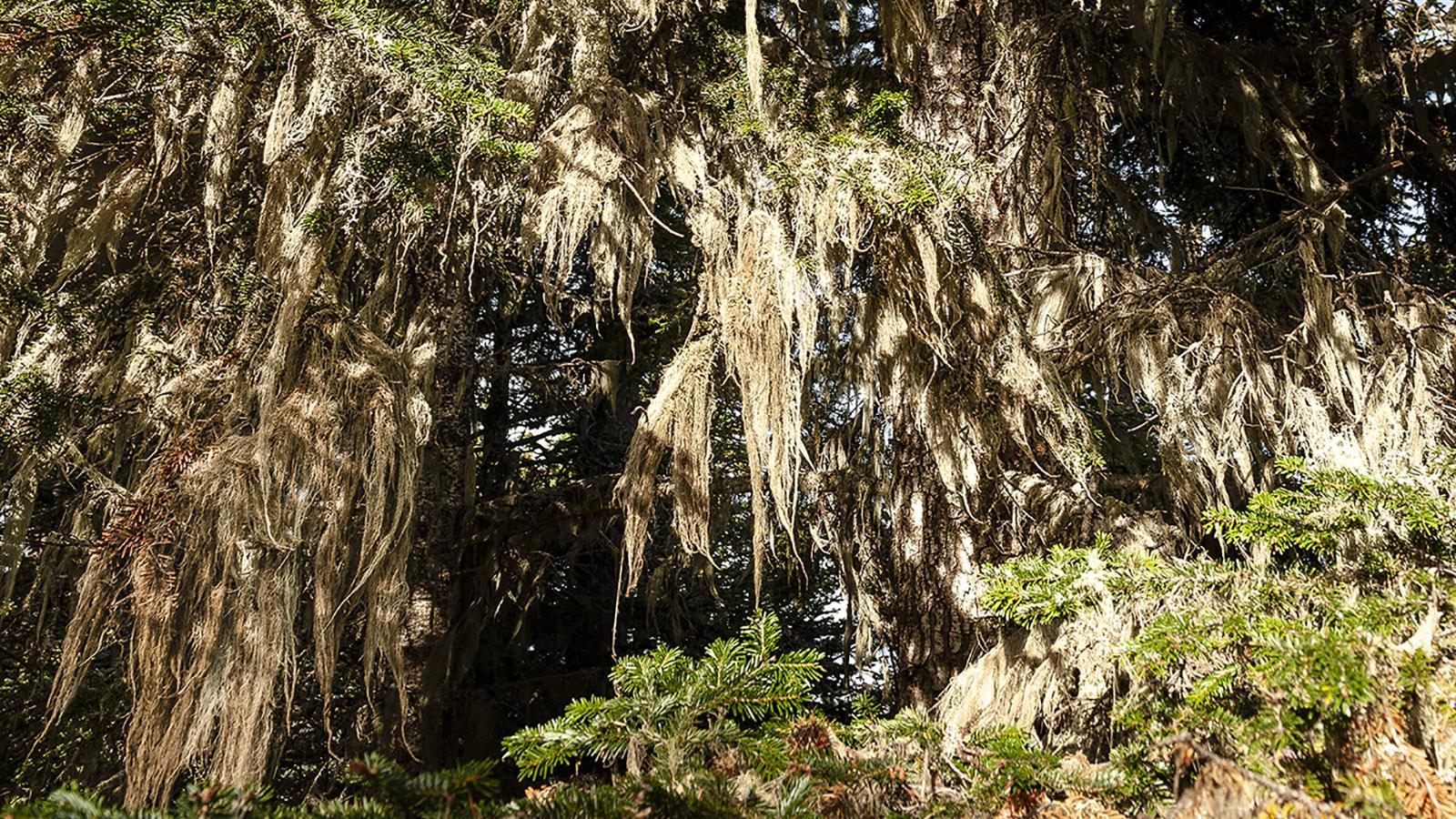 Canigó: Flechten verleihen den Bäumen Bärte... Foto: Hike Maunder