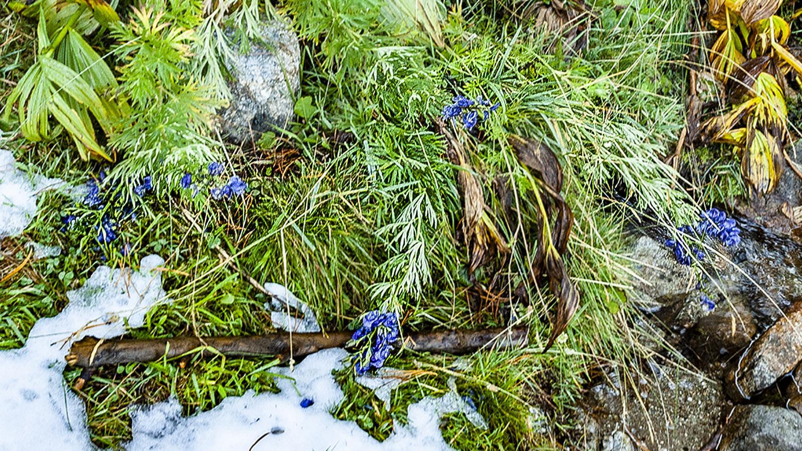 Canigo: Blauer Eisenfuß. Foto: Hilke Maunder