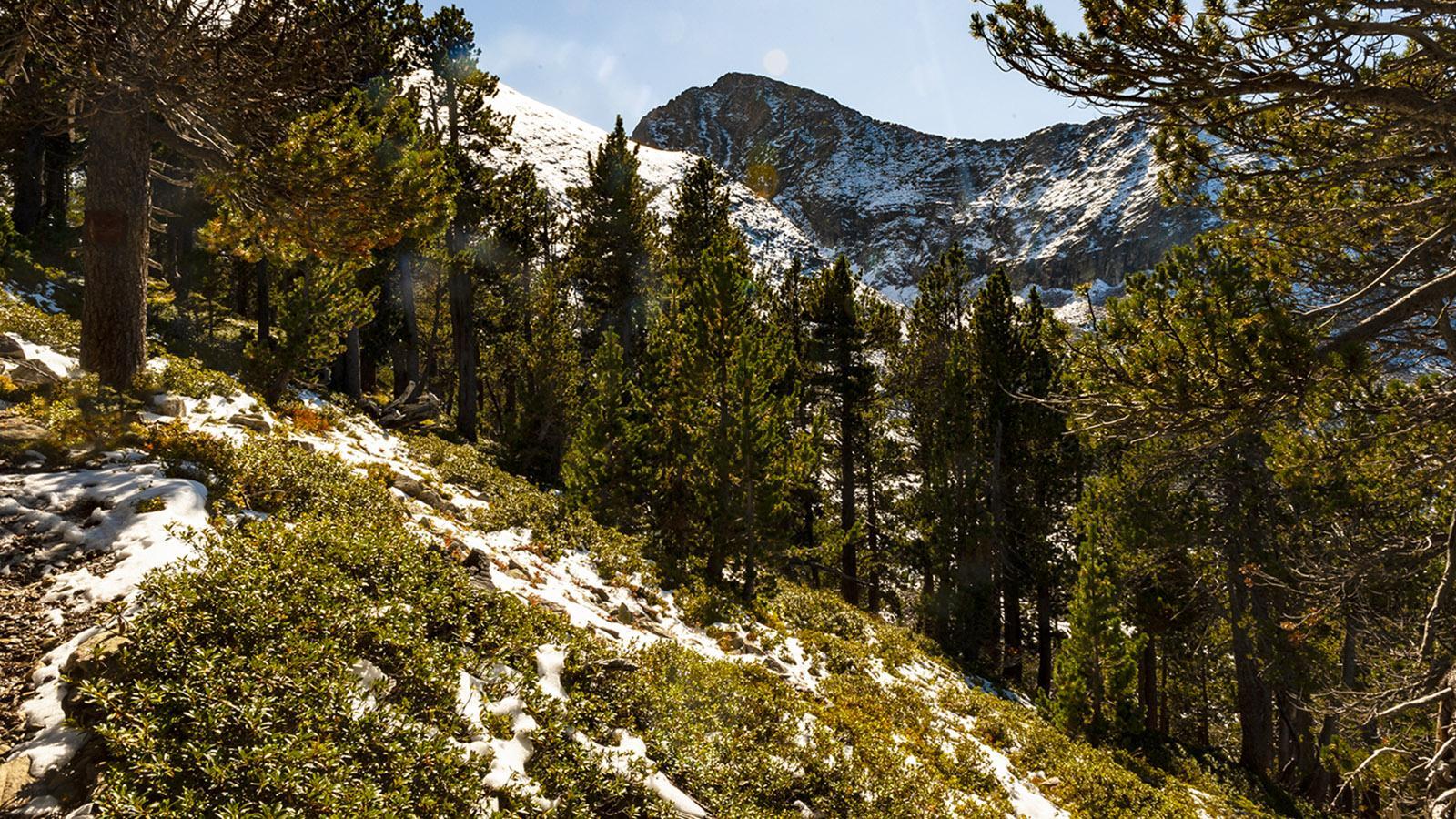 Canigo: Kiefernwald bei Cortalets. Foto: Hilke Maunder