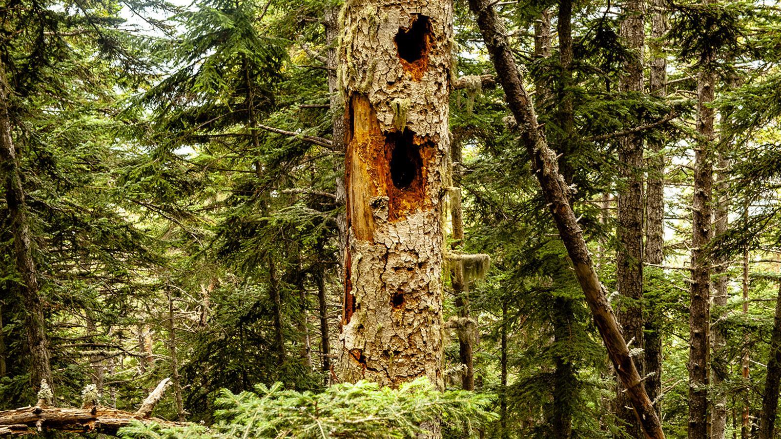 Canigó: Schwarzspecht-Baum im Forêt de Mosquit. Foto: Hilke Maunder