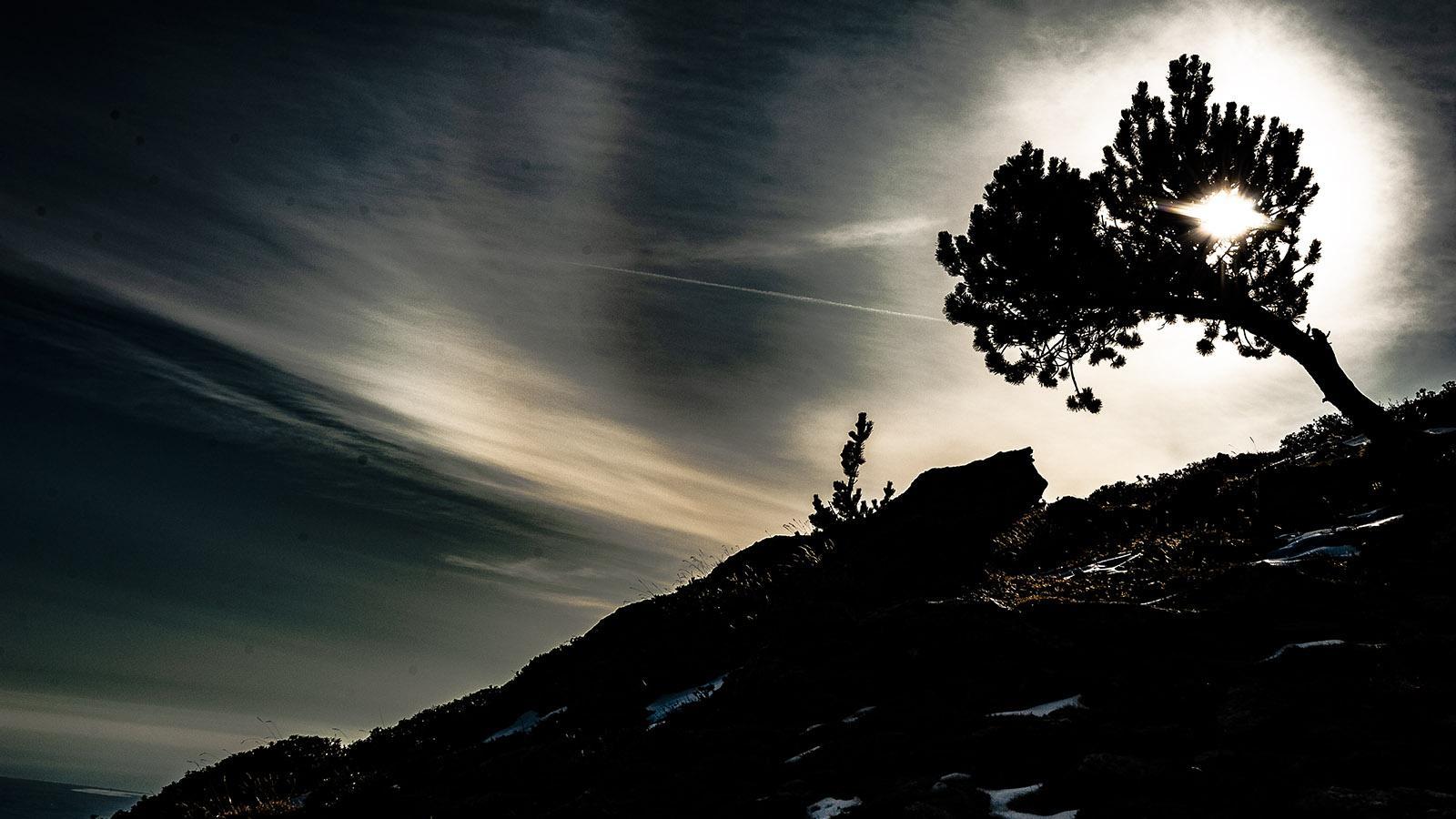 Canigó: Kiefer im Gegenlicht auf dem Pic Joffre. Foto: Hilke Maunder