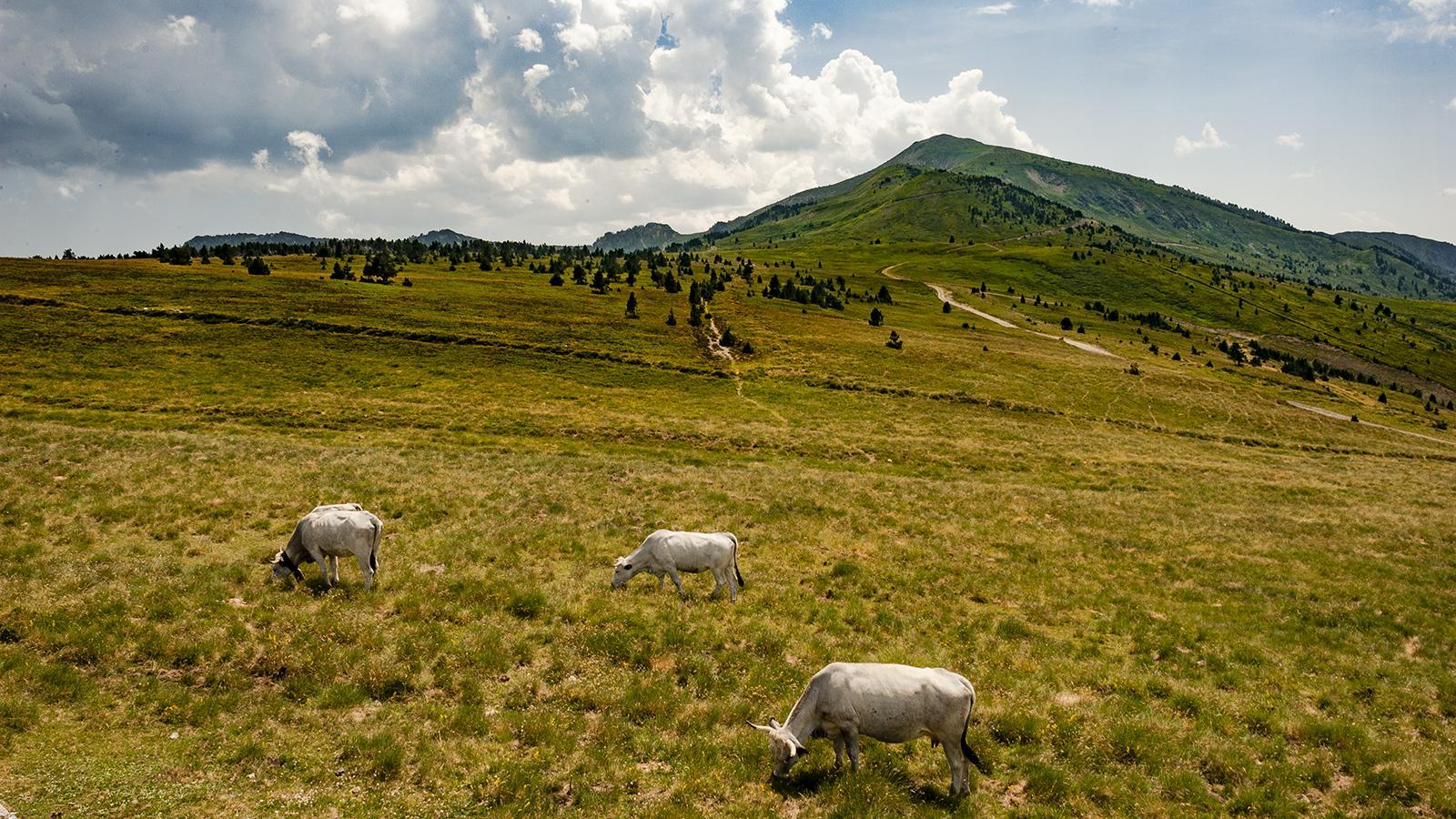 Col de Pailheres: Vieh auf der Sommeralm. Foto: Hilke Maunder