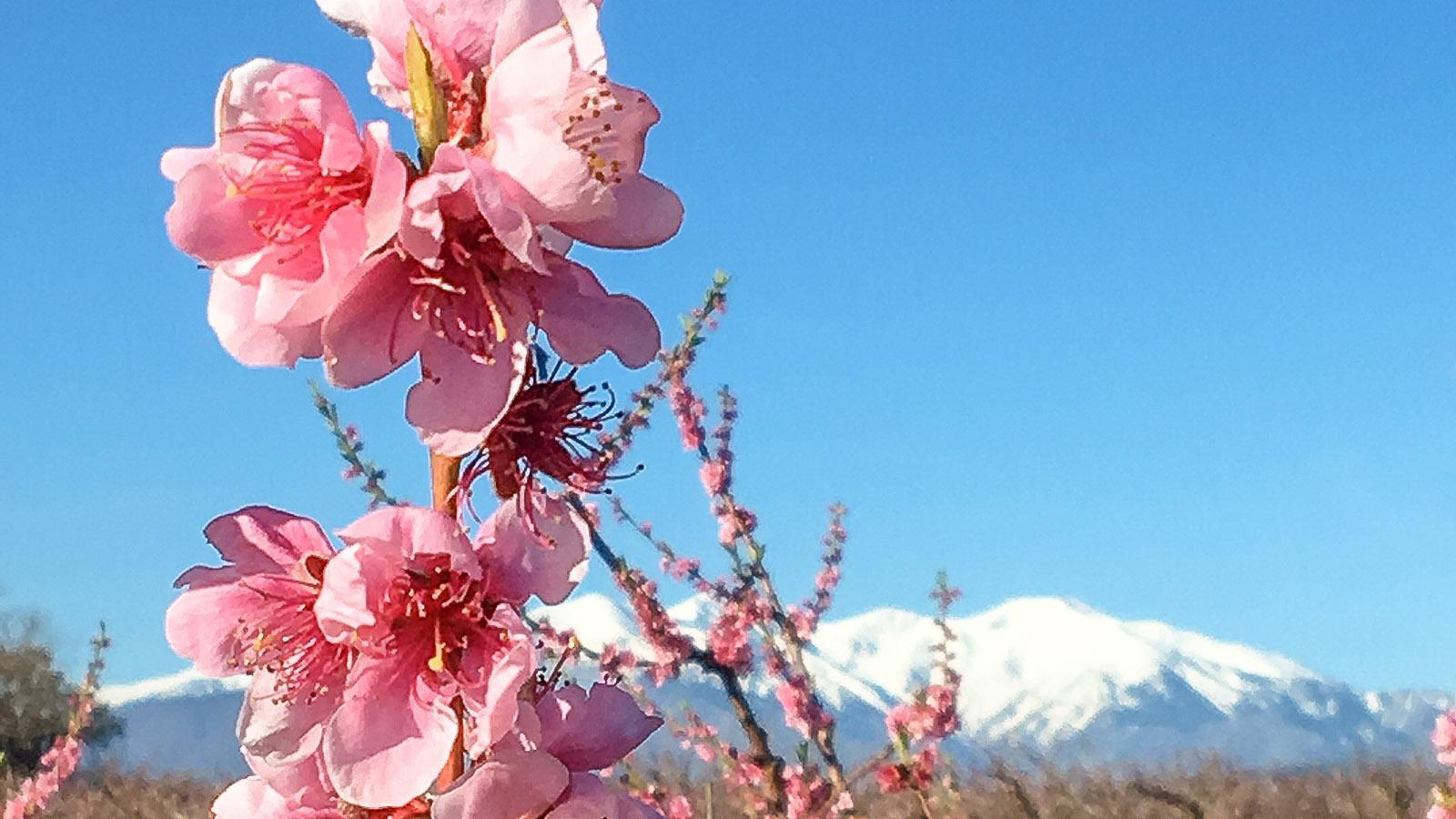 Les Aspres: Im Frühjahr blühen die Obstbäume. Foto: Hilke Maunder