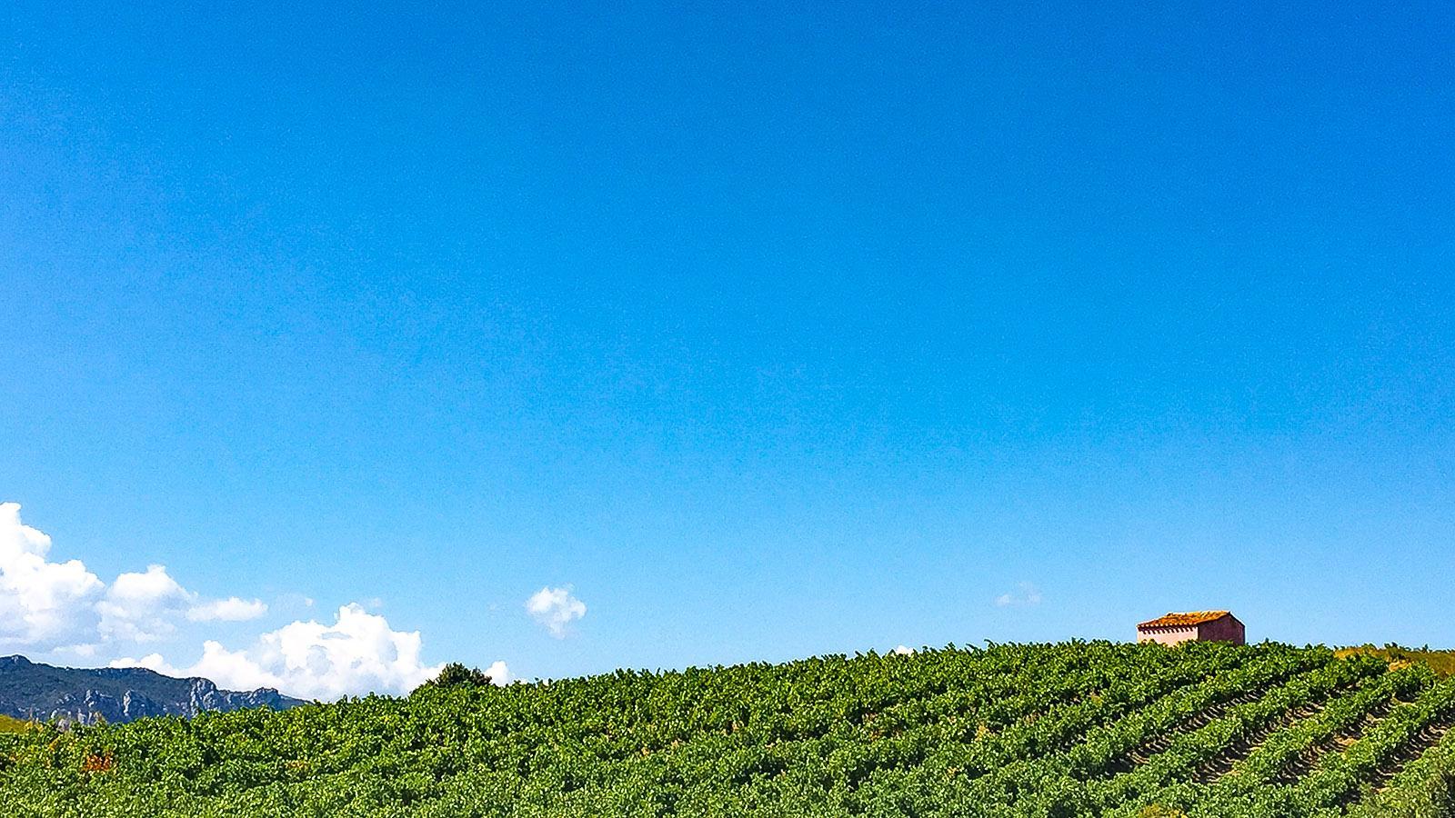 Weinlese im Agly-Tal: die Weingärten: Foto: Hilke Maunder
