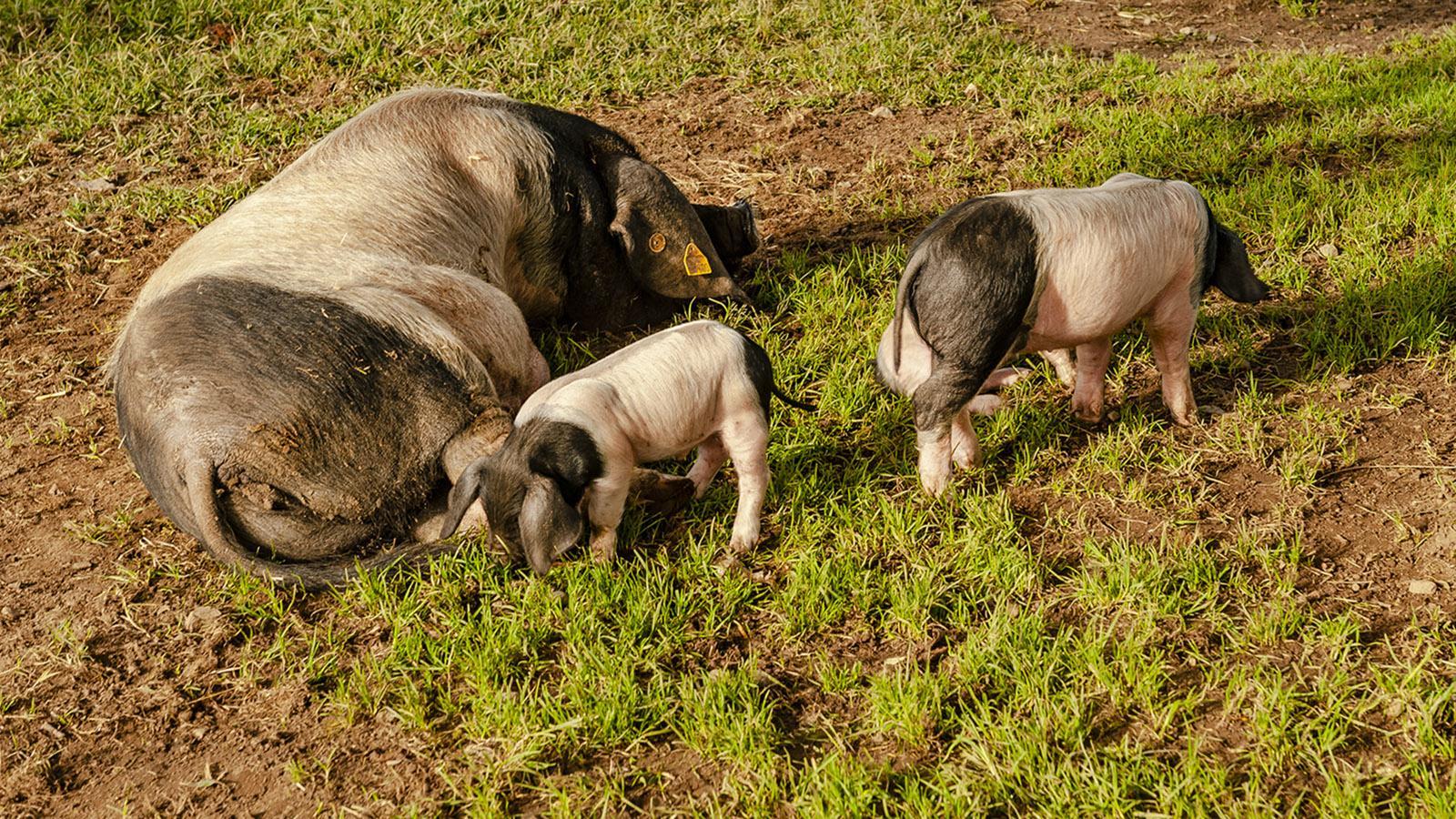 Kintoa-Schweine. Foto: Hilke Maunder