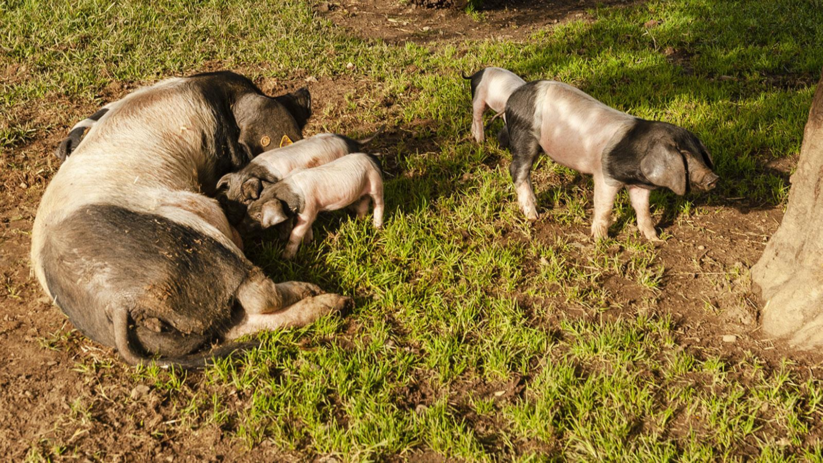 Nachwuchs beim Kintoa-Schwein. Foto; Hilke Maunder