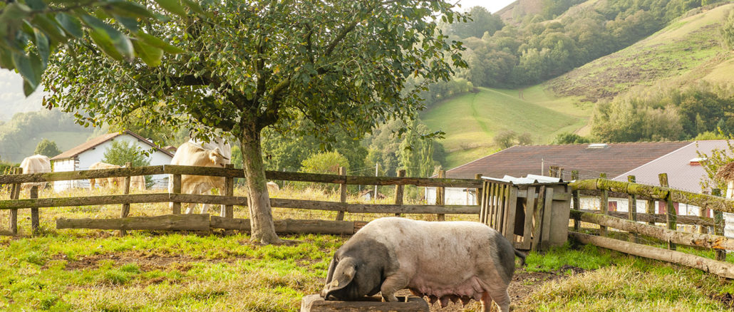 Das Kintoa-Scbwein. Foto: Hilek Maunder