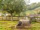 Das Kintoa-Scbwein. Foto: Hilke Maunder