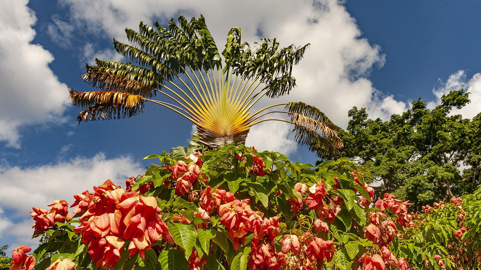 """Guadeloupe: Der """"Baum des Reisenden"""" thront über der tropischen Blütenpracht des Jardin Botanique von Deshaies. Foto: Hilke Maunder"""
