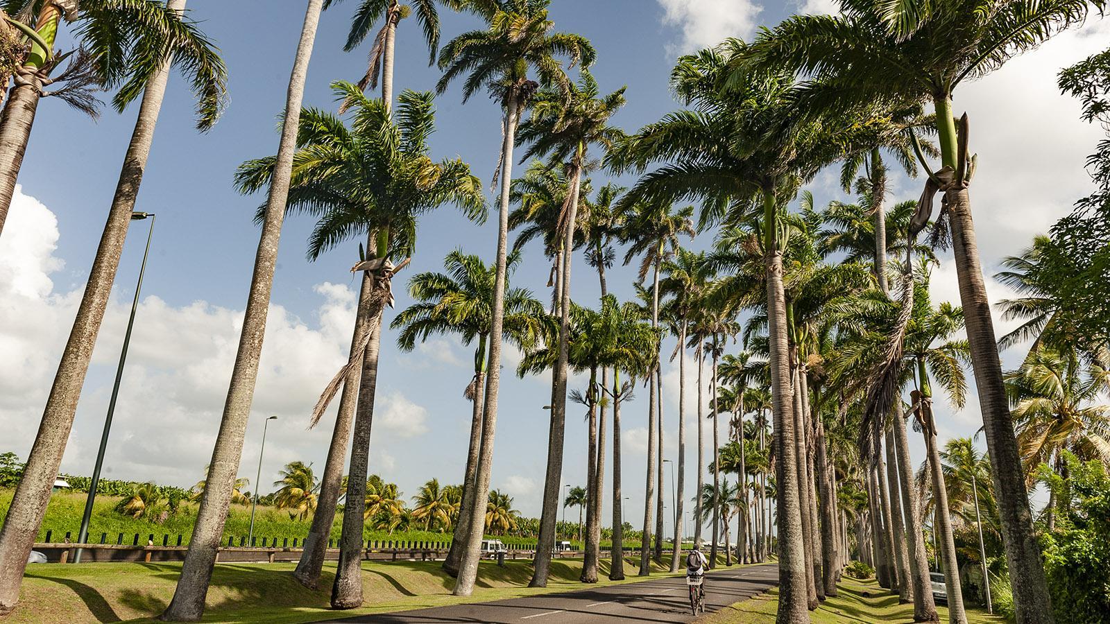 Guadeloupe: die Allée Dumanoir von Capesterre. Foto: Hilke