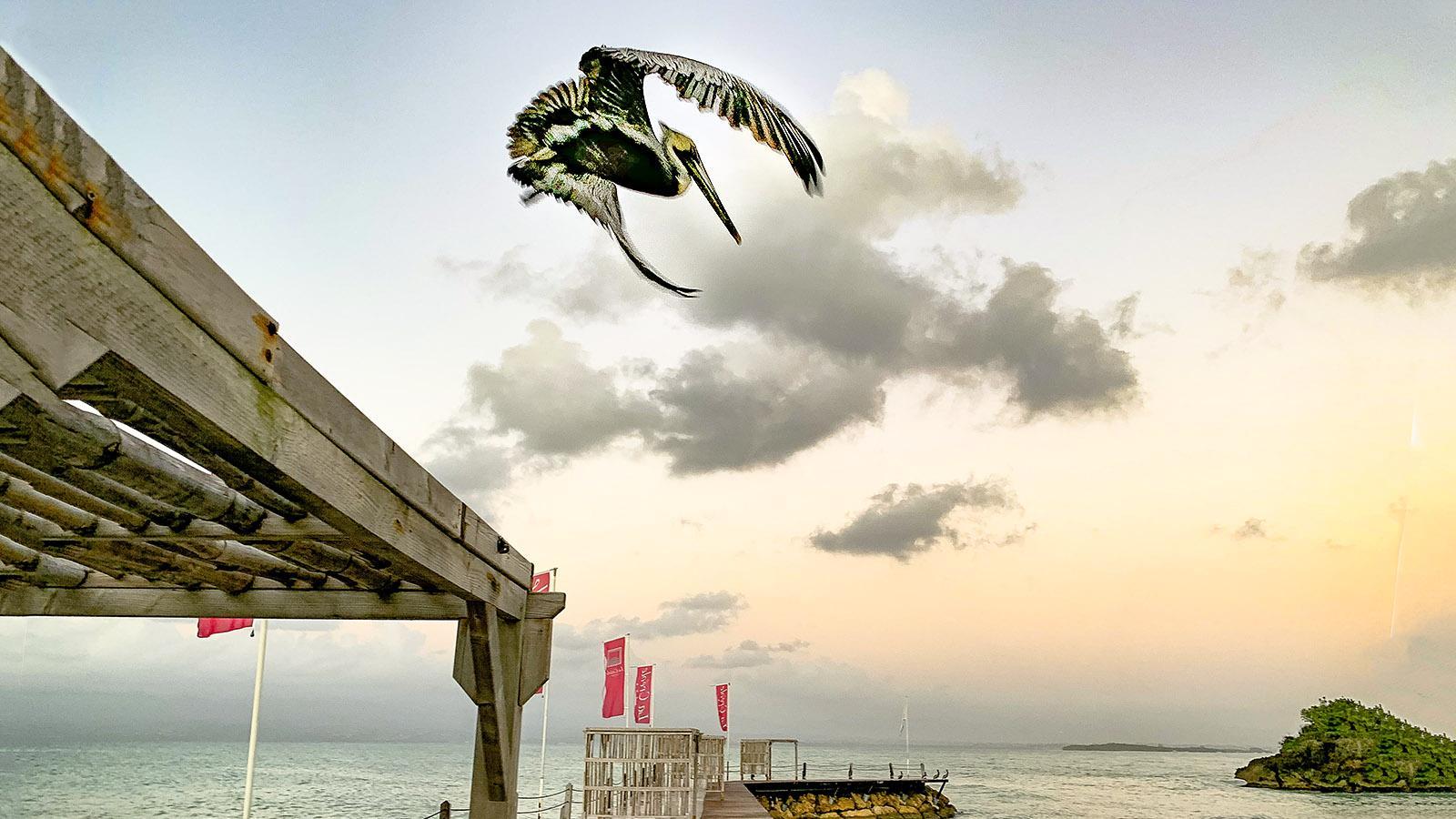 Guadeloupe: Pelikan beim Fischfang in der Bucht von Le Gosier. Foto: Hilke Maunder
