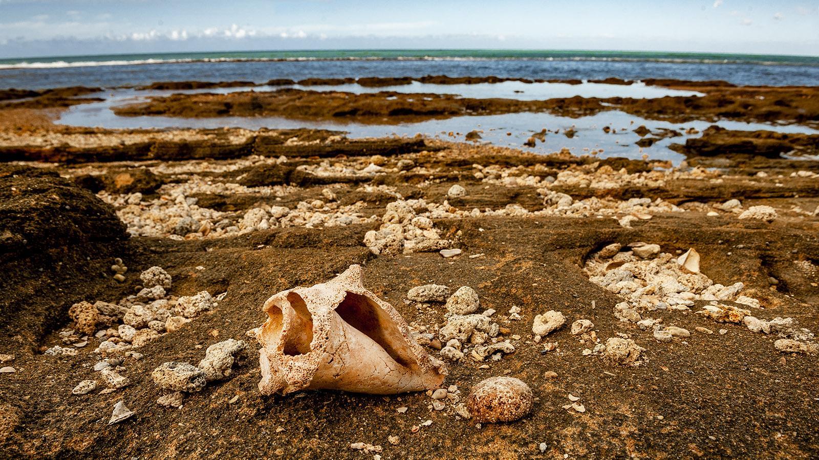 Guadeloupe: Muschelschale der Meeresschnecke an der Küste von Nogent. Foto: Hilke Maunder