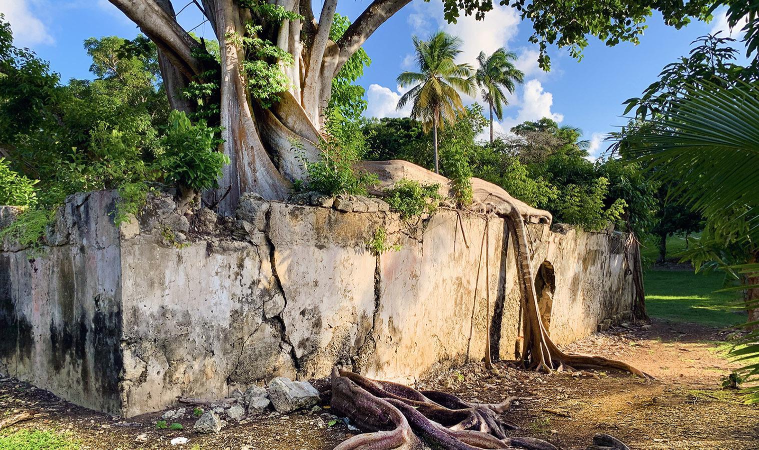 Guadeloupe: im Würgegriff der Feige - das alte Gefängnis von Petit-Canal. Foto: Hilke Maunder