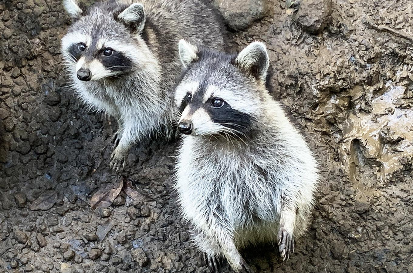 Guadeloupe: Waschbären (Raccoons). Foto: Hilke Maunder