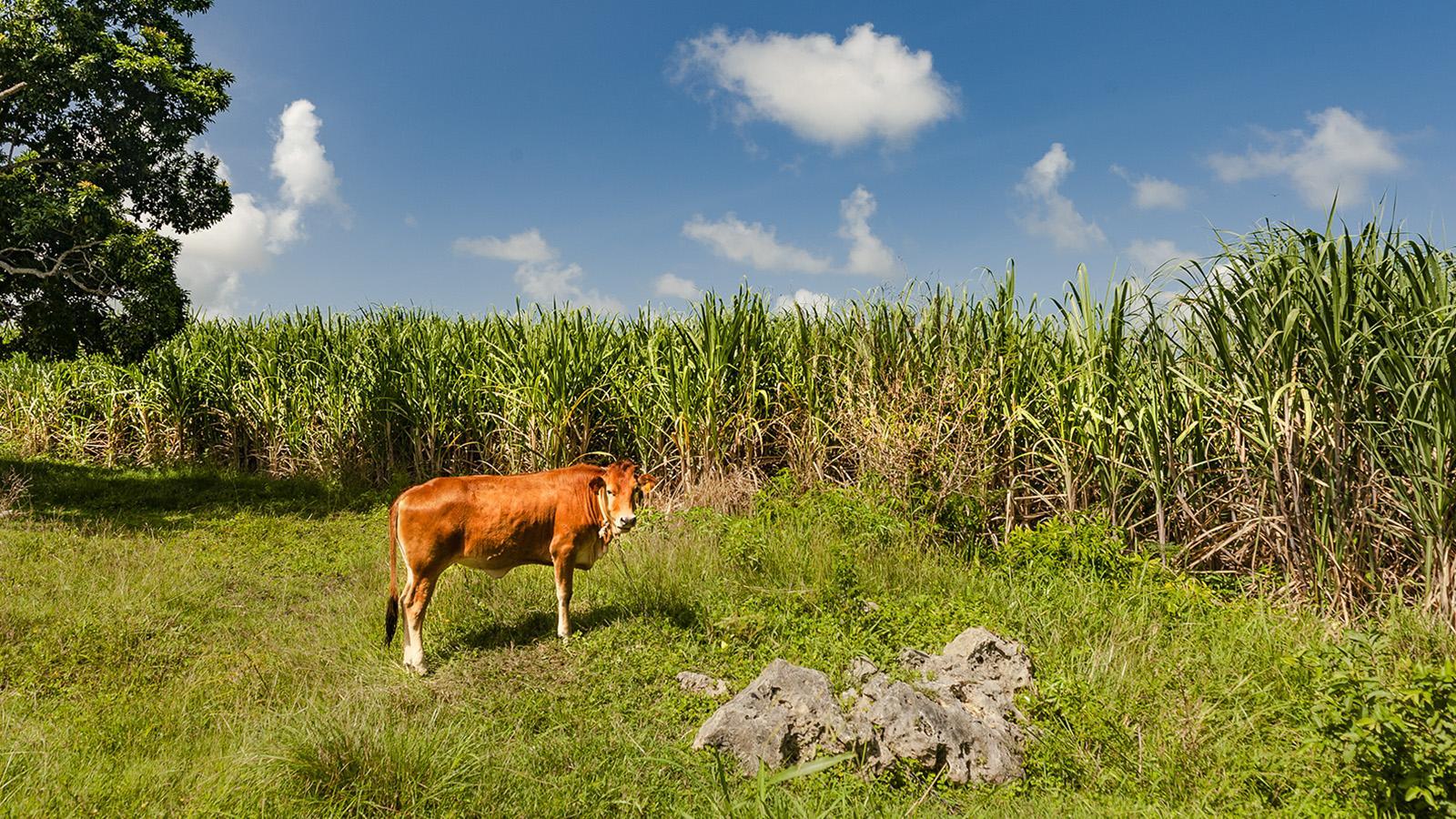 Marie-Galante: Rohr und Rind - die typische Kombi am Feld. Foto: Hilke Maunder