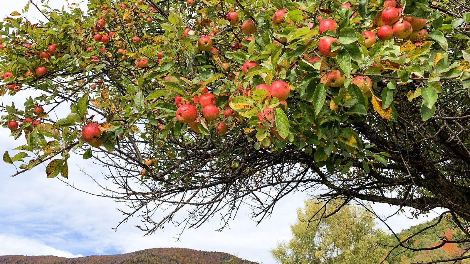 Donezan: wilde Früchte - ein Apfelbaum. Foto: Hilke Maunder