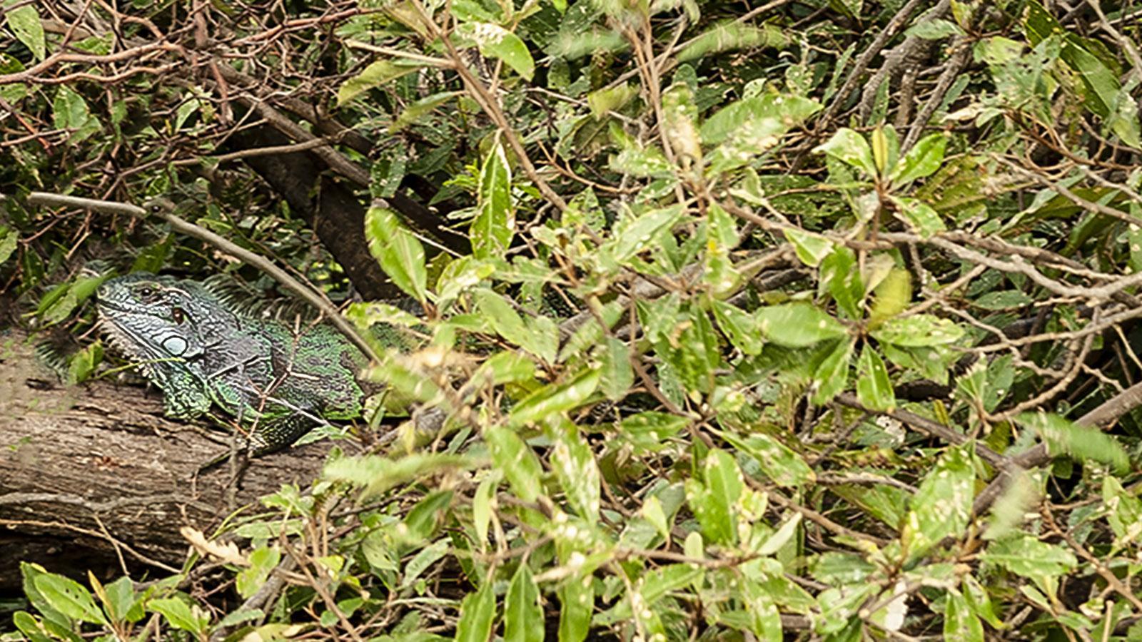 Les Saintes: Im Gebüsch am Fort Napoléon verstecken sich gerne die Leguane der Insel. Foto: Hilke Maunder