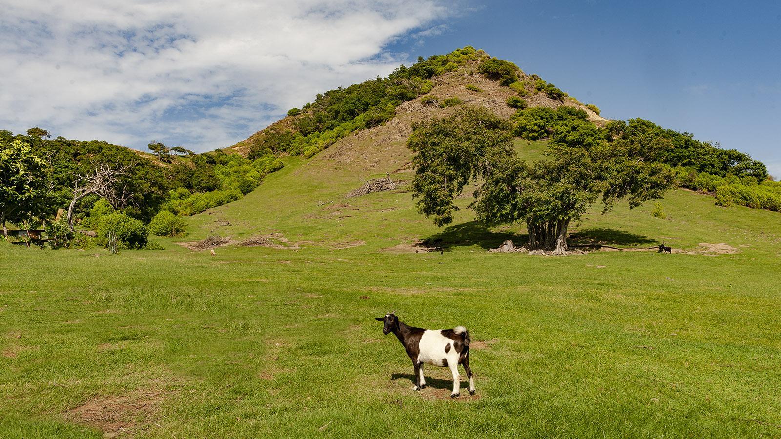 Les Saintes: Auf den kargen Weiden grasen Ziegen. Foto: Hilke Maunder