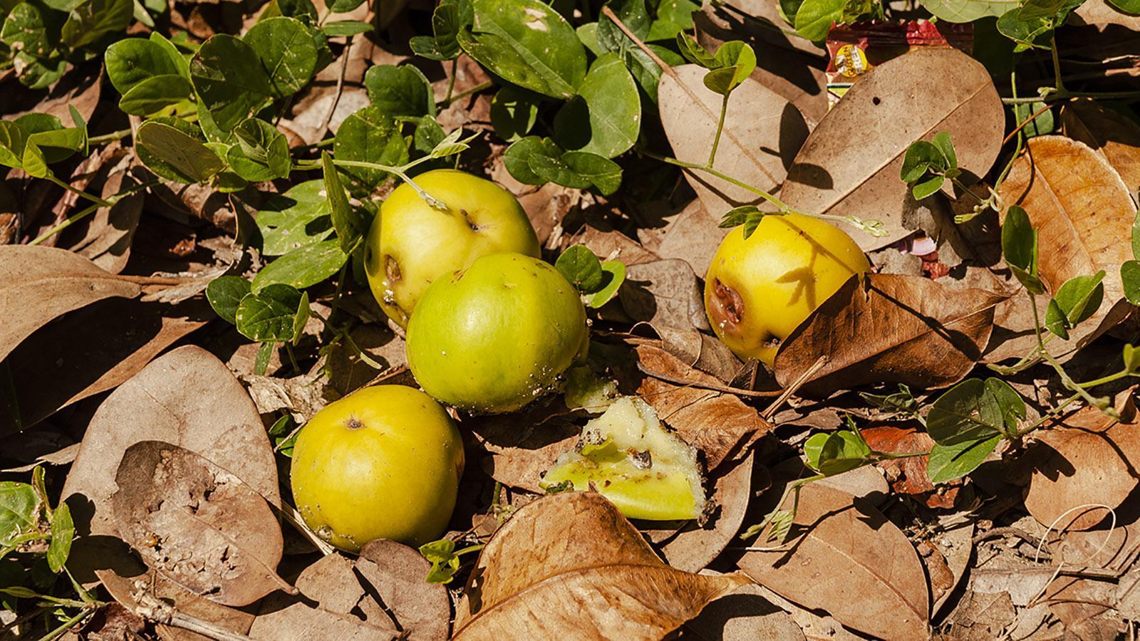 Marie-Galante: Manzanilla-Äpfel. Foto: Hilke Maunder