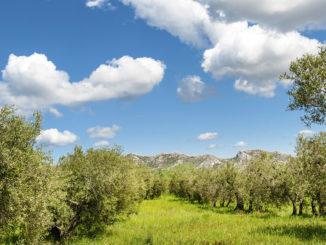 Die Oliven der Alpilles gehören zu den besten Frankreichs. Foto: Hilke Maunder