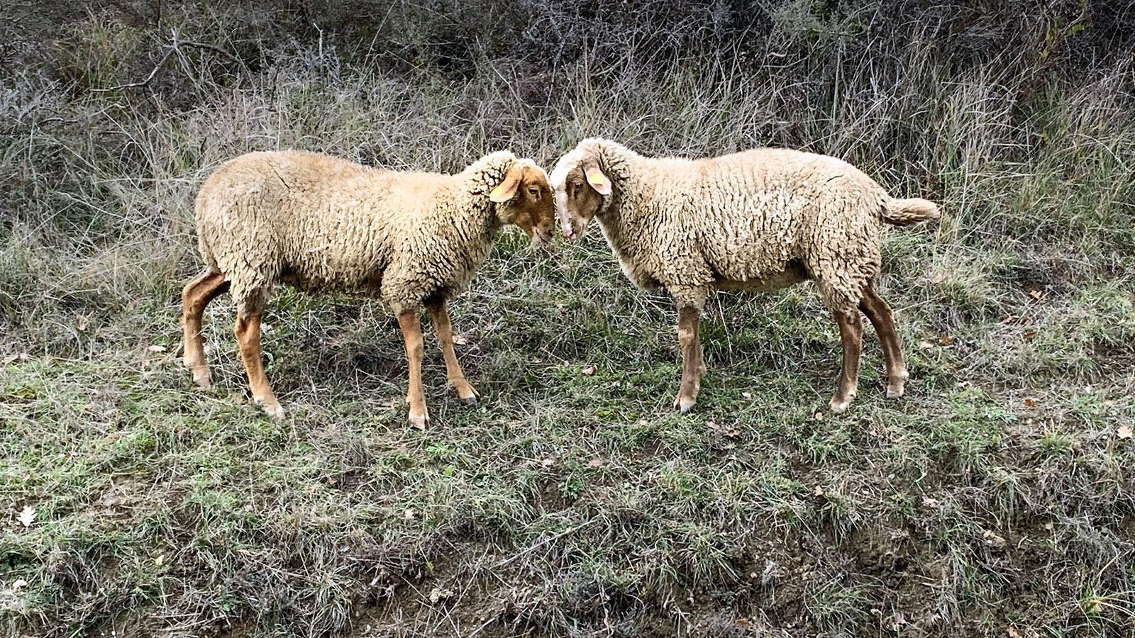 Schafe. Foto: Hilke Maunder