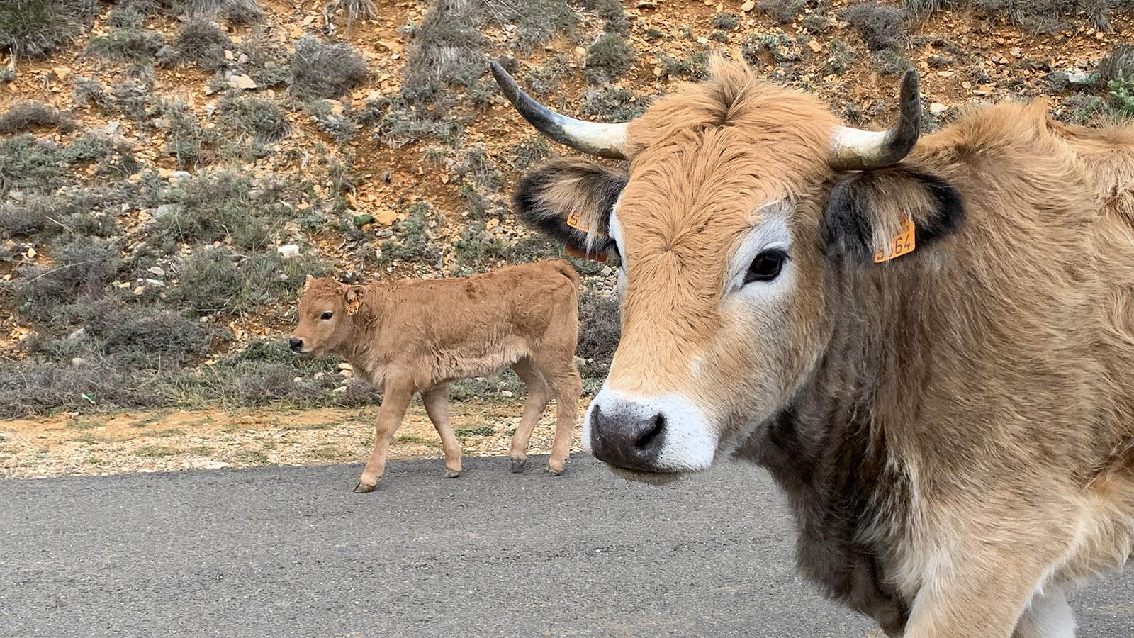 Rind auf der Landstraße bei Duilhac. Foto: Hilke Maunder