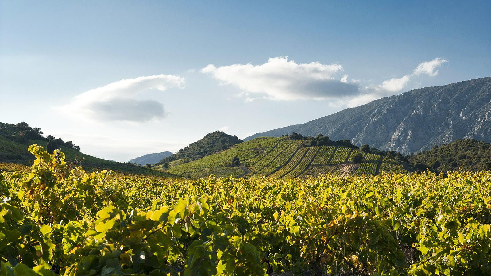 Herbst in den Weingärten des Agly-Tales bei Estagel. Foto: Hilke Maunder