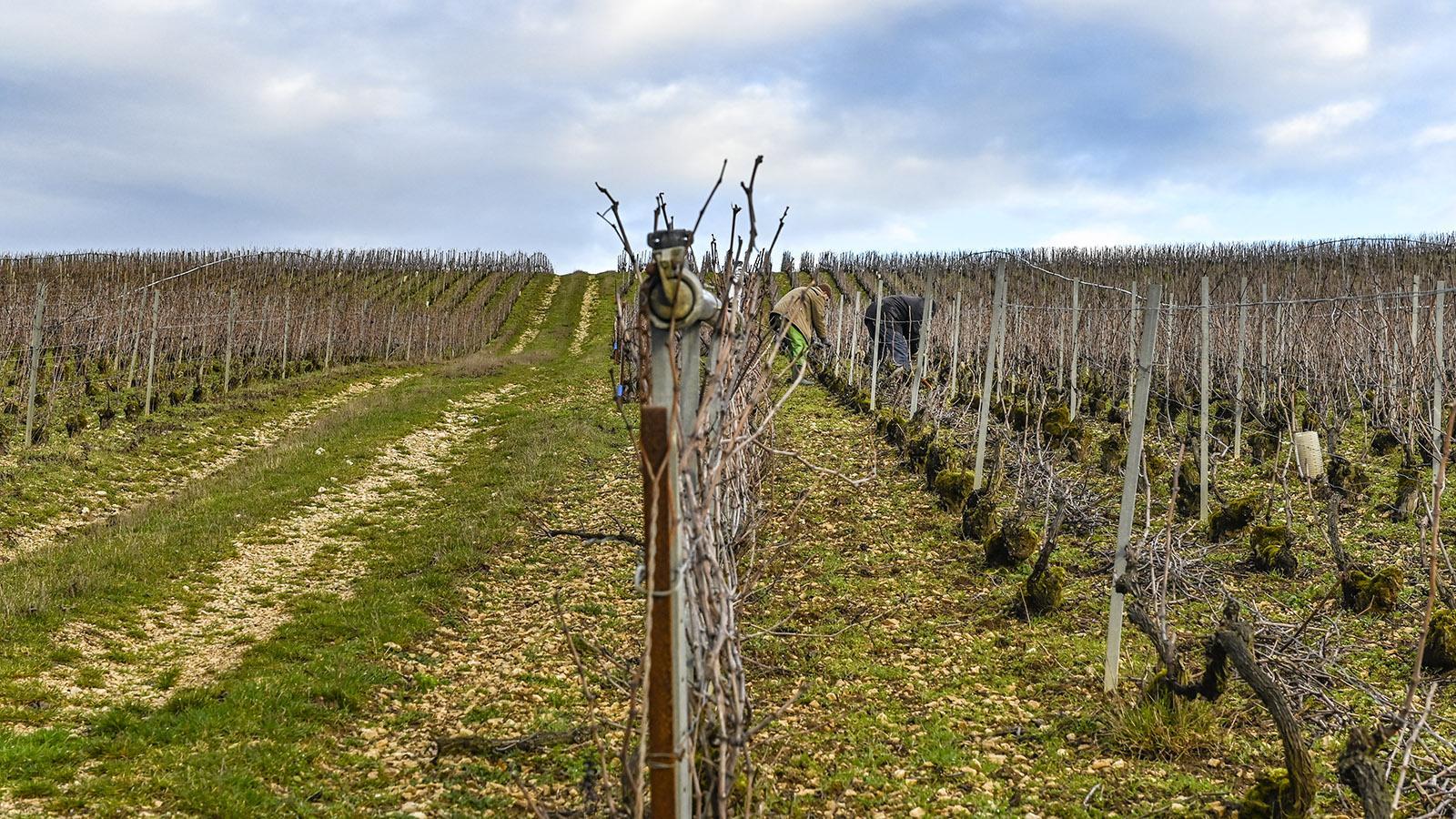 Côte des Bars: Auch im Winter wird im Weinberg gearbeitet, hier bei Celles-sur-Ource. Foto: Hilke Maunder