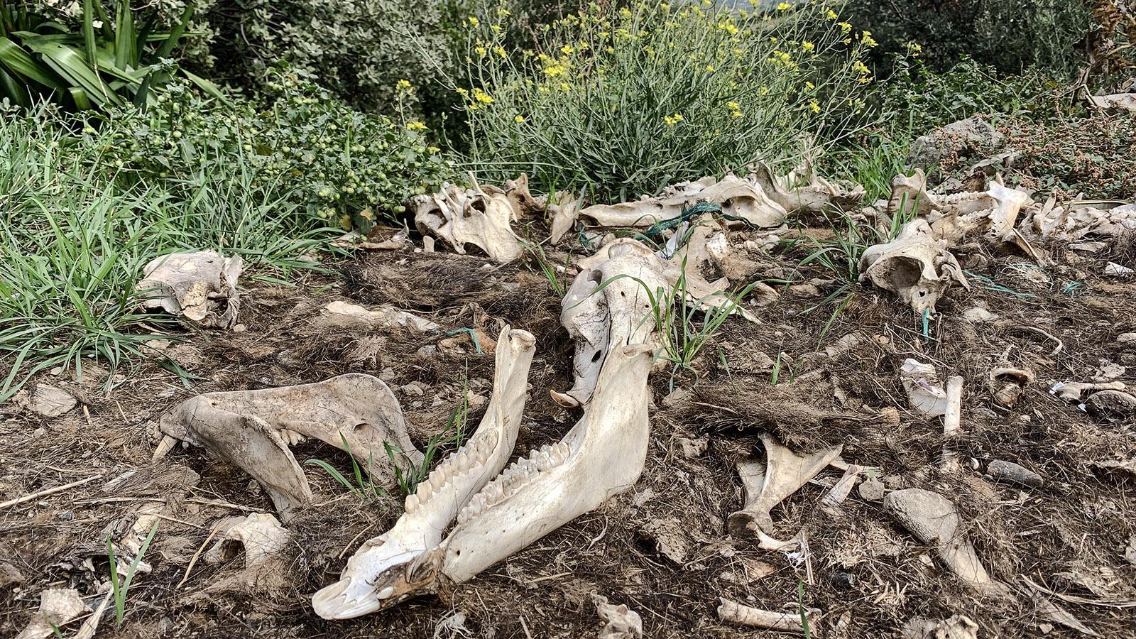 Kein Einzelfall: Die Jäger weiden die Tiere noch in der freien Natur aus und hinterlassen die Reste den Geiern und anderen Tieren, die sich bei uns in den Pyrenäen tummeln. Foto: Hilke Maunder
