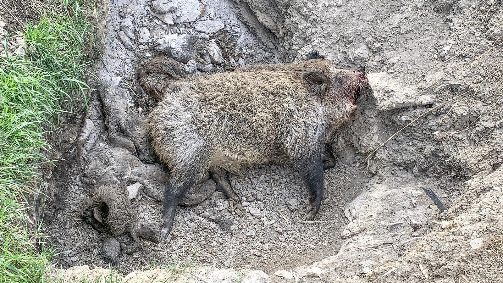 Noch vor dem offiziellen Jagdbeginn am 11. Oktober 2020 entdeckte ich beim Spazierengehen in den Pyrenäen dieses Wildschwein in der Grube. Foto: Hilke Maunder