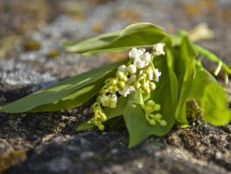 Maiglöckchen: das traditionelle Präsent zum 1. Mai. Foto: Hilke Maunder