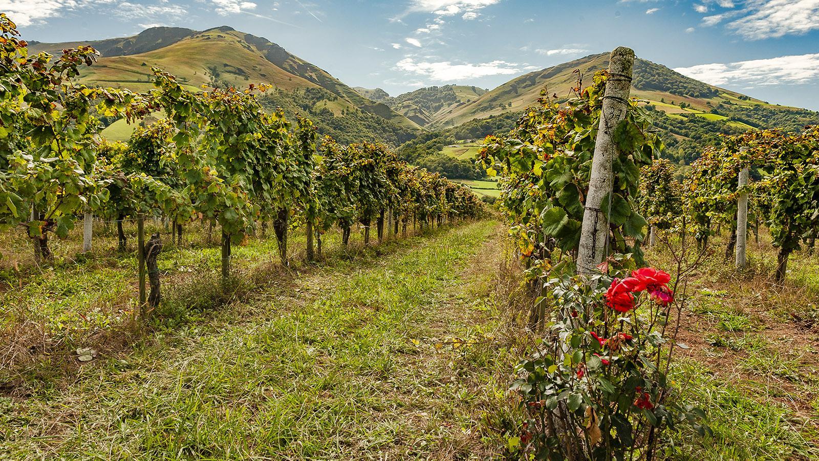 Irougleguy: Rosen zeigen, ob es dem Wein gut geht - und die Rebstöcke frei von Befall sind. Foto: Hilke Maunder