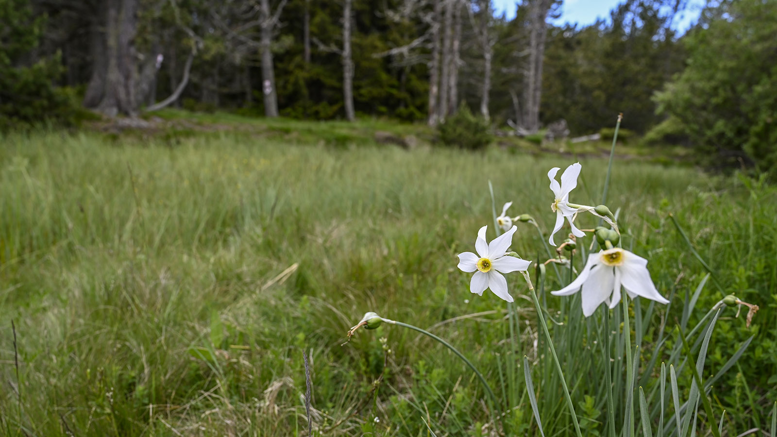 In den Feuchtwiesen am Oberlauf der Têt blühen wilde Narzissen. Foto: Hilke Maunder