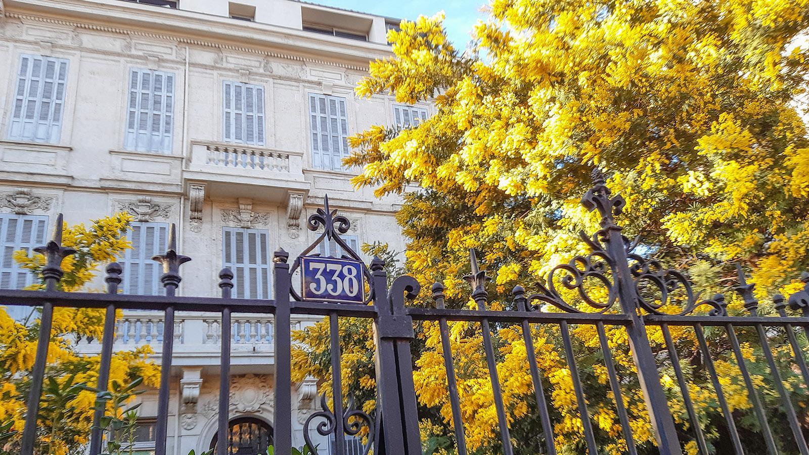 Der Mimosenbaum vor dem einstigen deutschen Generalkonsulat in der Avenue du Prado von Marseille. Foto: Katharina Kehmer